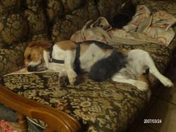 Lunette, chien Beagle