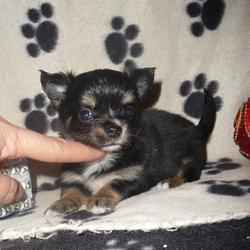 Lunna, chien Chihuahua