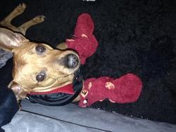 Lunny, chien Pinscher