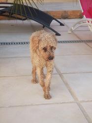 Lupi, chien Caniche