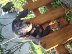 Lupin, chien Teckel