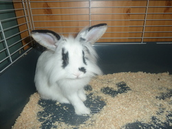 Lupy, rongeur Lapin