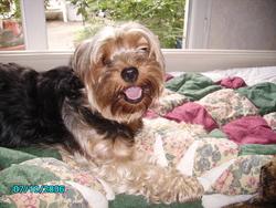 Lutece, chien Yorkshire Terrier