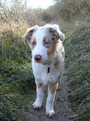 Lutèce, chien Berger australien