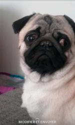 Lutin, chien Carlin