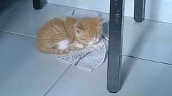 Lutino, chat Gouttière