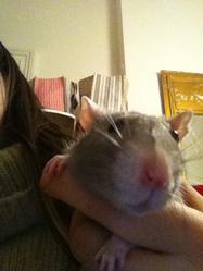 Lutti, rongeur Rat