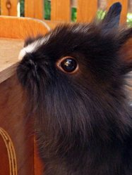 Lutti, rongeur Lapin