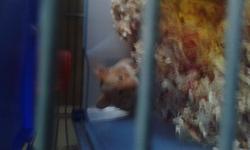 Luttie , rongeur Hamster