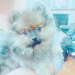 Lutty, chien Spitz allemand