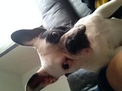 Lutty, chien Bouledogue français