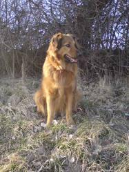 Luuna, chien Retriever de la Nouvelle-Écosse
