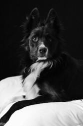 Lux, chien Border Collie