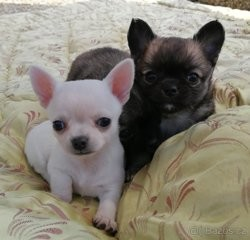 Lux, chiot Chihuahua