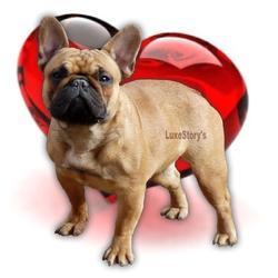 Luxestory'S Heavenly Lilys, chien Bouledogue français