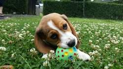 Luzerne Du Gang Des Loups, chien Beagle