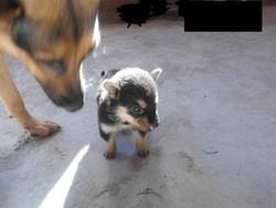 Lwiza, chien Berger allemand