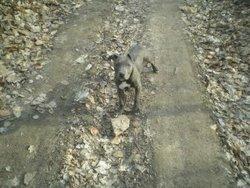 Lya, chien American Staffordshire Terrier