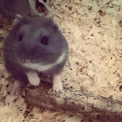 Lya, rongeur Hamster
