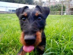 Lyam, chien Jagdterrier