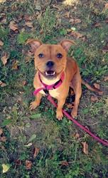Lyana, chien Staffordshire Bull Terrier