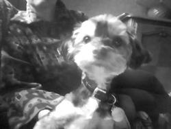 Lyanna, chien Yorkshire Terrier