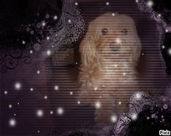 Lybie   Au   Paradis, chien Terrier tibétain