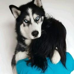 Lycan, chien Husky sibérien
