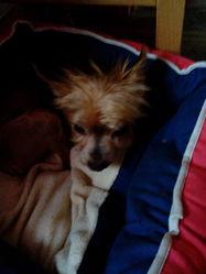 Lychee, chien Yorkshire Terrier