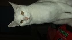 Lycka, chat Gouttière