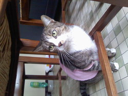 Lyddy, chat Européen