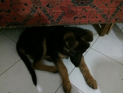 Lydia, chien Berger allemand