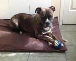 Lydia, chien Boxer