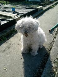 Lydie, chien Caniche