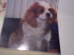 Lydie, chien Cavalier King Charles Spaniel