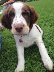 Lyla, chien Springer anglais