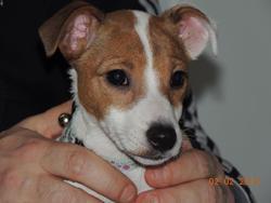 Lyla, chien Jack Russell Terrier