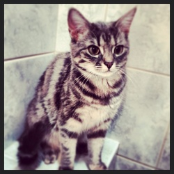 Lylah, chat Gouttière