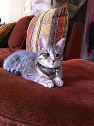 Lylas, chat Européen