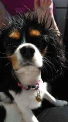 Lyli, chien Cavalier King Charles Spaniel