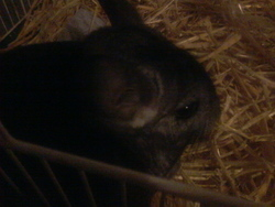 Lylli, rongeur Chinchilla