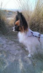 Lyllou-Ann, chien Épagneul nain continental