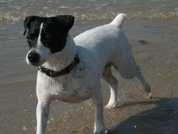 Lylou, chien Jack Russell Terrier