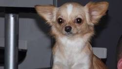 Lyly, chien Chihuahua