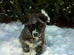 Lyly, chien Border Collie