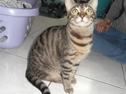 Lyly, chat Bengal