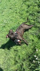 Lyly, chien Staffordshire Bull Terrier