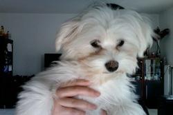 Lyly, chien Bichon maltais