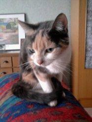 Lyly, chat Européen