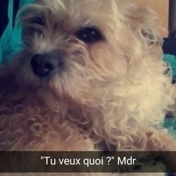 Lyna, chien Basset fauve de Bretagne